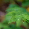 Dew/ Drops