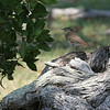 Ft Jff birds 2_thrush sp