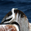birds at sea 4_masked booby