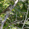 Ft Jff birds 6_hermit thrush