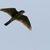 Ft Jff birds 11b_peregrine falcon