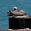 birds at sea 6-brown pelican
