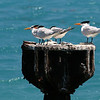 birds at sea 7_royal terns