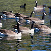 Lake Forest, CA: Canadian Geese