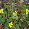 Viola sempervirens, evergreen violet, has pleasently wintergreen-flavored flowers and young leaves. (All violets are edible.)