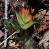 Castilleja hispida, harsh paintbrush, surprised me by actually having a few colored bracts already. This is one of the few that was actually better last time I visited.