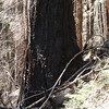 """A portion of the forest has burned in the last decade. Many younger trees perished in the fire, but the ancient trees mostly escaped that fate, protected by their thick bark. They will wear """"black stockings"""" for many years into the future."""