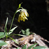 Fritillaria lanceolata, chocolate lily. An unusual yellowish-colored one.