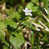 Claytonia siberica, candy flower.