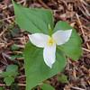 Trillium ovatum, western trillium.