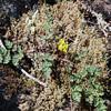 Lomatium utriculatum, spring gold.