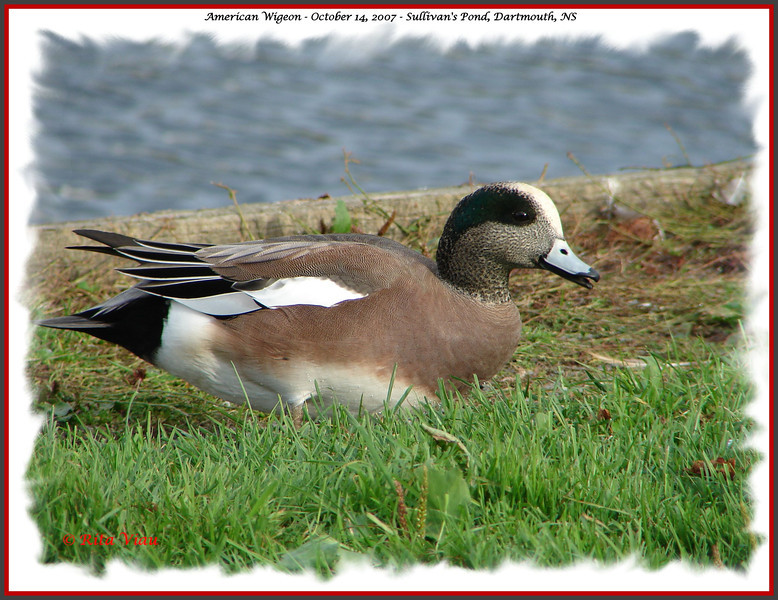 American Wigeon (male) - October 14, 2007 - Sullivan's Pond, Dartmouth, NS