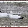 Snow Goose and Ross's Goose - January 6, 2013 - Hartlen Point, Eastern Passage, NS
