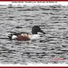 Northern Shoveler (male) - November 3, 2012 - Bissett Lake, Cole Harbour, NS