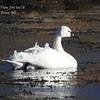 14 Tundra Swan