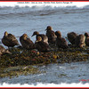 Common Eiders (females) - June 30, 2009 - Hartlen Point, Eastern Passage, NS