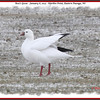 Ross's Goose - January 6, 2013 - Hartlen Point, Eastern Passage, NS