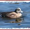 American Wigeon (male) - March 7, 2010 - Sullivan's Pond, Dartmouth, NS