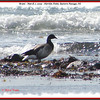 Brant - March 7, 2009 - Hartlen Point, Eastern Passage, NS