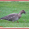 Tundra Bean Goose - November 9, 2013 - Yarmouth, NS