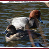 Redheads - February 11, 2006 - Sullivan's Pond, Dartmouth, NS