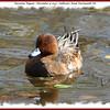 Eurasian Wigeon (male) - November 4, 2007 - Sullivan's Pond, Dartmouth, NS