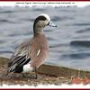American Wigeon (male) - March 14, 2009 - Sullivan's Pond, Dartmouth, NS
