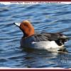 Eurasian Wigeon - January 13, 2008 - Sullivan's Pond, Dartmouth, NS