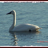 Tundra Swan - November 30, 2010 - First Lake, Lr Sackville, NS (Photo Anita Pouliot)