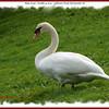 Mute Swan - October 4, 2007 - Sullivan's Pond, Dartmouth, NS