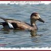 Gadwall (male) - September 8, 2007 - Sullivan's Pond, Dartmouth, NS