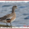 American Wigeon (female) - March 14, 2009 - Sullivan's Pond, Dartmouth, NS