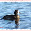 Lesser Scaup - November 6, 2011 - First Lake, Lr Sackville, NS