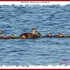 American Black Ducks - May 28, 2008 - Lr. Sackville, NS