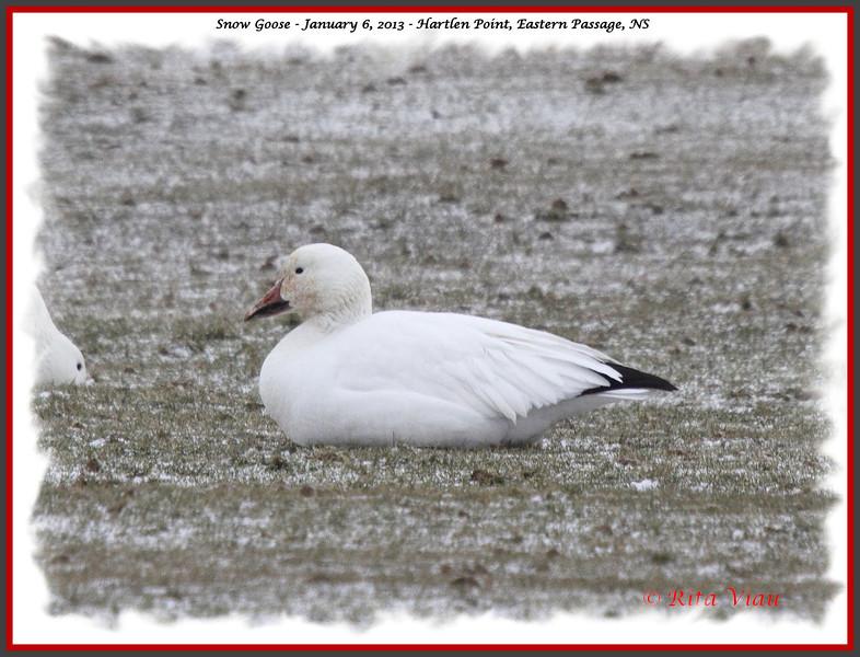 Snow Goose - January 6, 2013 - Hartlen Point, Eastern Passage, NS