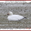Snow Goose - January 6, 2013 - Hartlen Point, Eastern Passage, NS