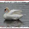 Mute Swan - February 8, 2008 - Sullivan's Pond, Dartmouth, NS