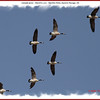 Canada Geese - March 6, 2011 - Hartlen Point, Eastern Passage, NS