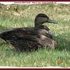 American Black Ducks - May 8, 2007 - Lower Sackville, NS