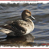 Northern Pintail - October 28, 2012 - Bissett Lake, Cole Harbour, NS
