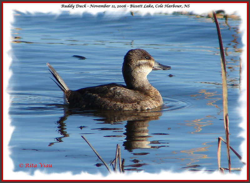 Ruddy Duck - November 11, 2006 - Bissett Lake, Cole Harbour, NS