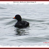 Black Scoter - March 3, 2013 - Eastern Passage, NS