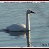 Tundra Swan - November 30, 2010 - First Lake, Lr Sackville, NS (Photo Anita Pouliot)