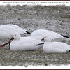 Snow Geese and Ross's Goose - January 6, 2013 - Hartlen Point, Eastern Passage, NS