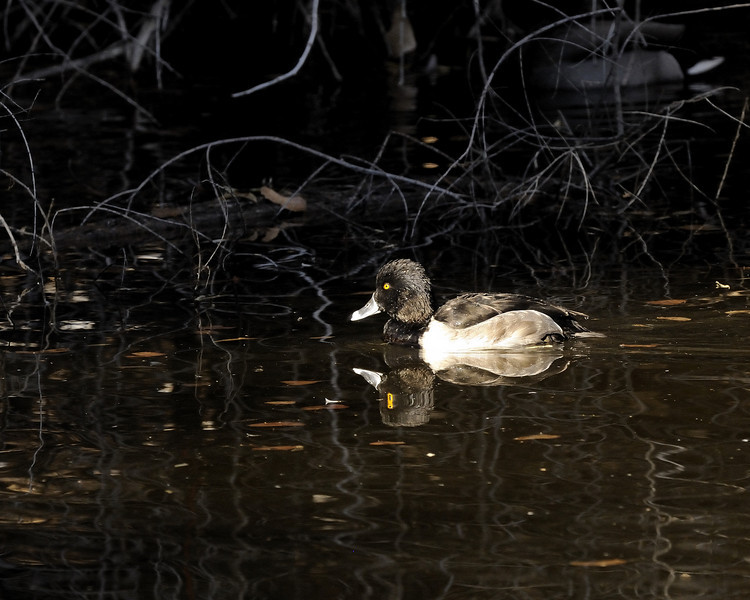 Ring Necked Duck (1)