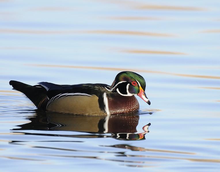 Wood Duck (12)