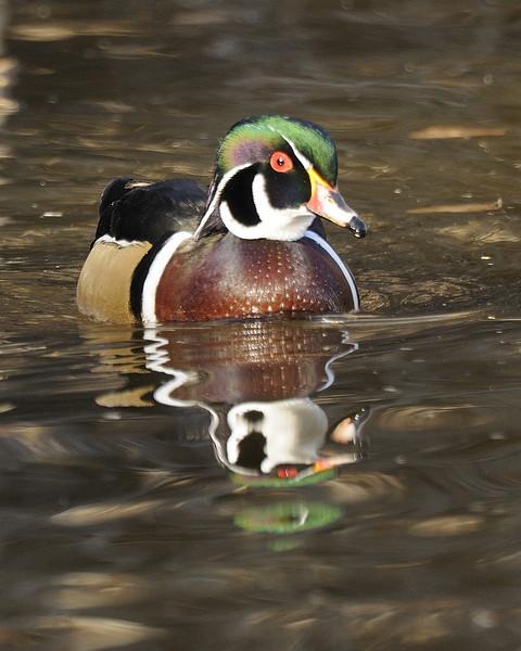 Wood Duck (4)
