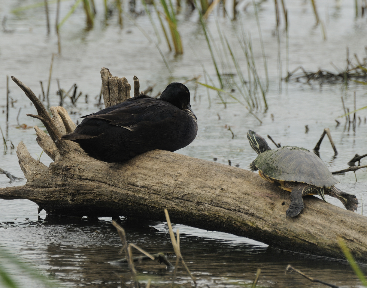 Mallard (7) - Black with turtle