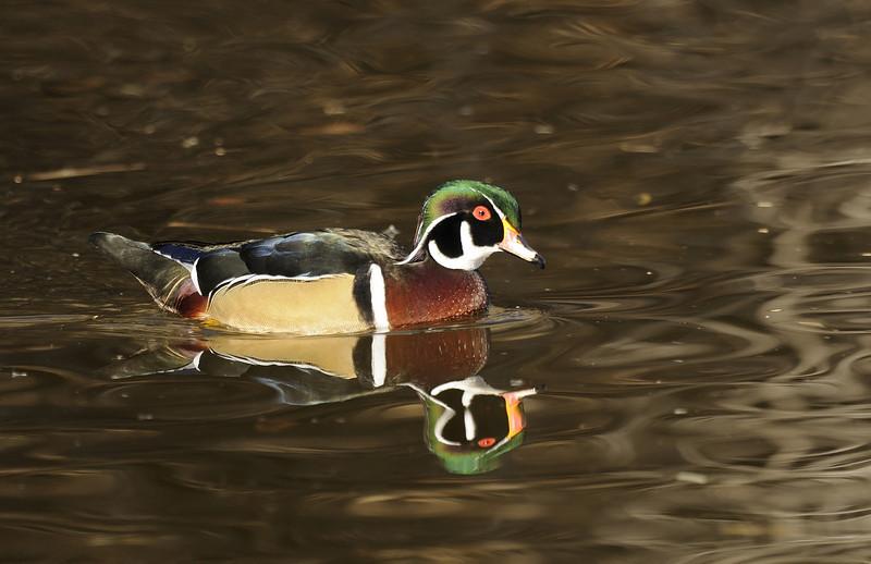 Wood Duck (6)