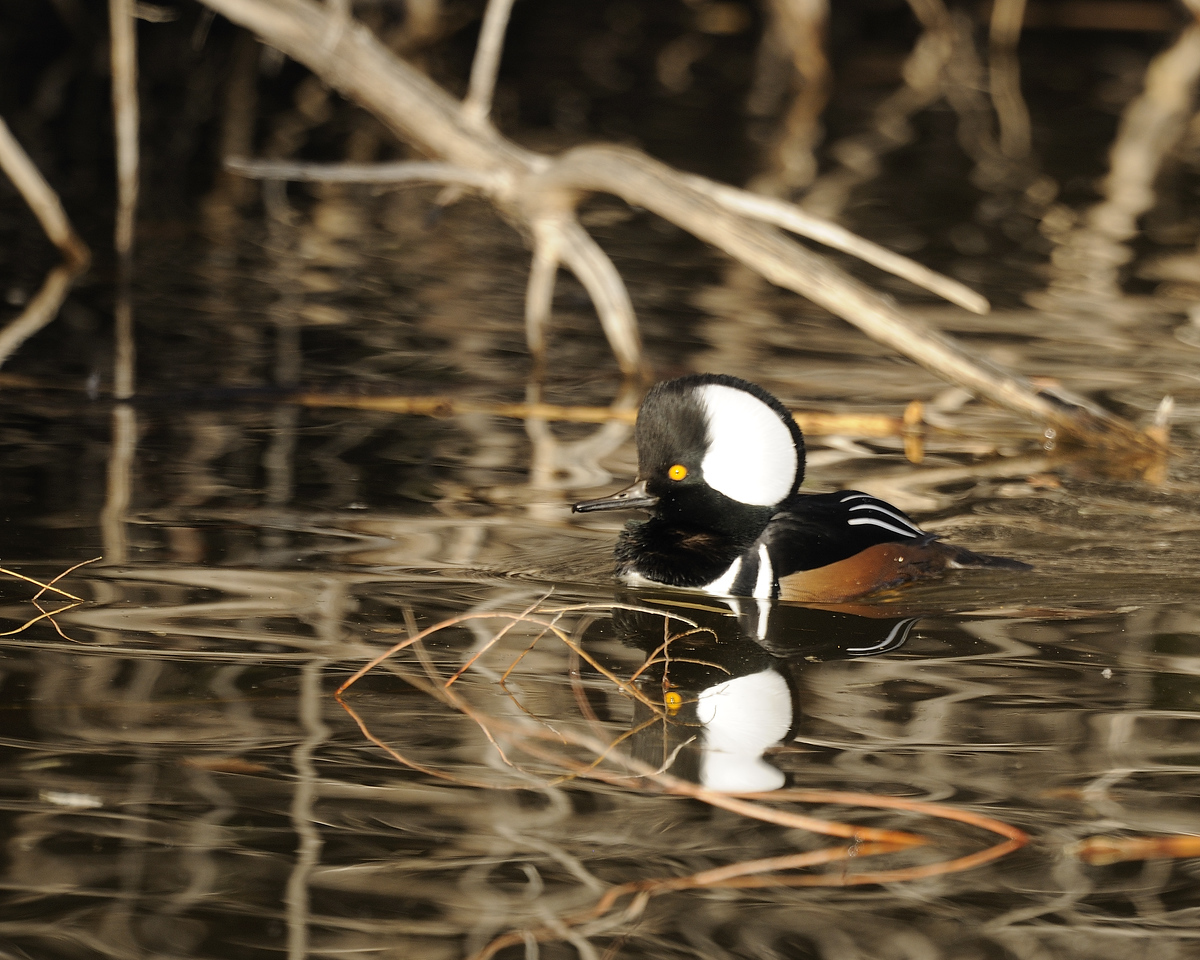 Hooded Merganser (9)